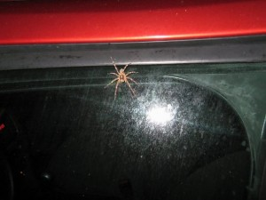 spider on car