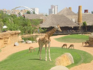 Bioparc valencia - Girafs