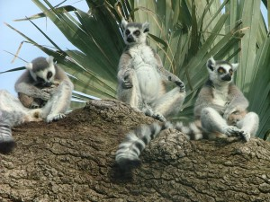 Ringtailed_lemur_46_-_Bioparc-_Valencia,_Spain